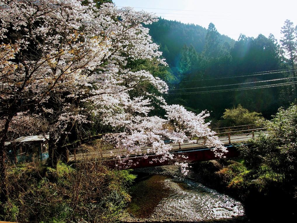 桜も咲いて・・・藍の種蒔き!